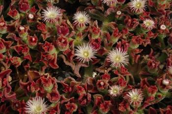 cactus lanzarote