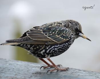 ocell de hollanda