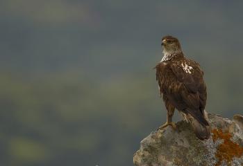 Aguila azor- perdicera