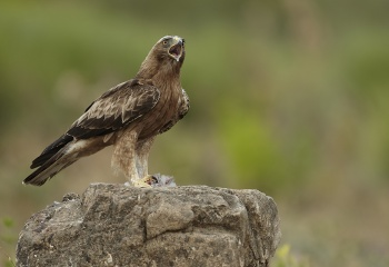Águila calzada fase oscura