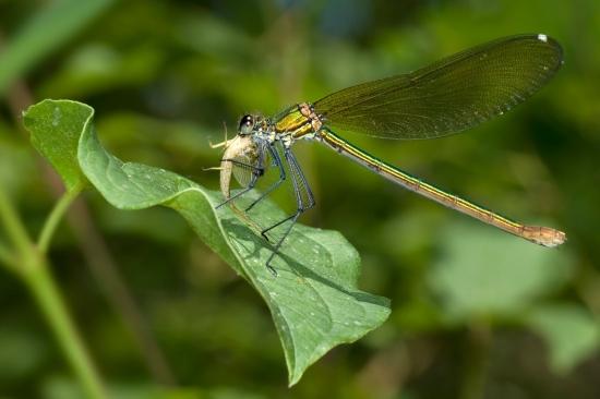 Calopteryx_Virgo