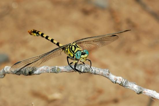 Onychogomphus_forcipatus_unguiculatus