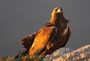 Águila real bajo el viento y el atardecer