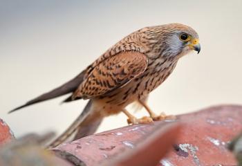 "Cernícalo primilla hembra - ""Falco naumanni"""