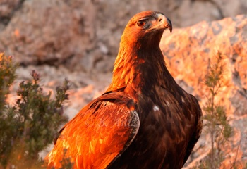 Porte elegante y noble del Águila real