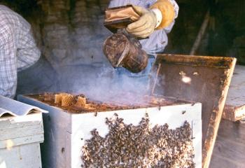 Echando humo para espantar a las abejas