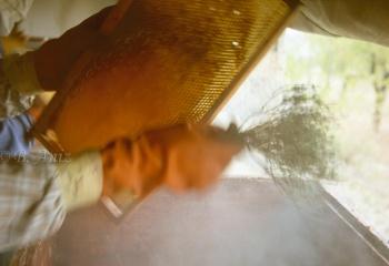 Sacudiendo con ramita de tomillo para espantar a las abejas