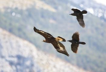 Águila real joven acosada por dos cuervos