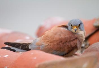 "Cernícalo primilla macho - ""Falco naumanni"""