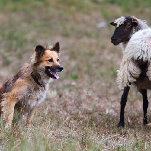 Perros pastor