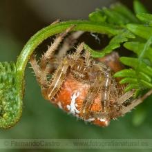 316-Araña de la cruz (Araneus diadematus)