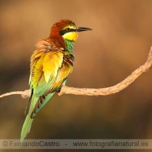 33-Abejaruco común (merops apiaster)