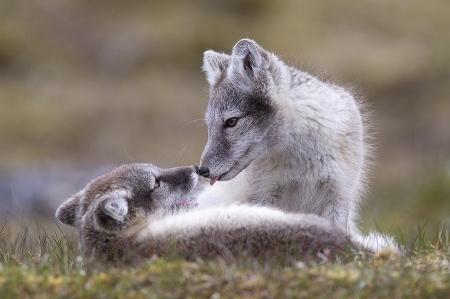 Svalbard Zorro Artico-Arctic fox-(Alopex lagopus)