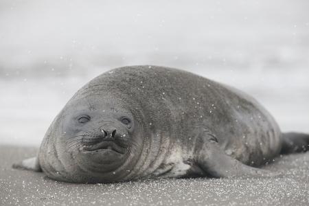 Elefante marino del sur- Souther elephant seal- (Mirounga leonina)