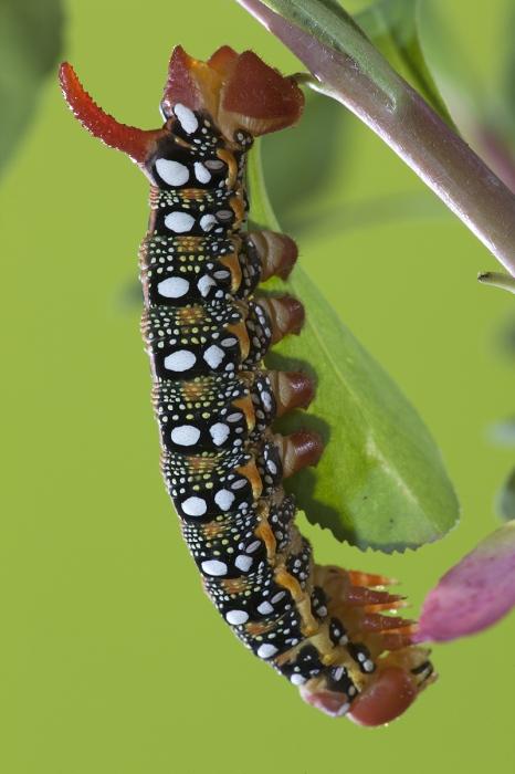 Hyde Euphorbiae