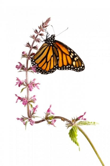 Mariposa Monarca-Monarch Butterfly -(Danaus Plexippus)