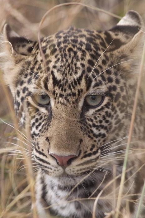 Leopardo-Leopard-(Panthera pardus) MasaiMara