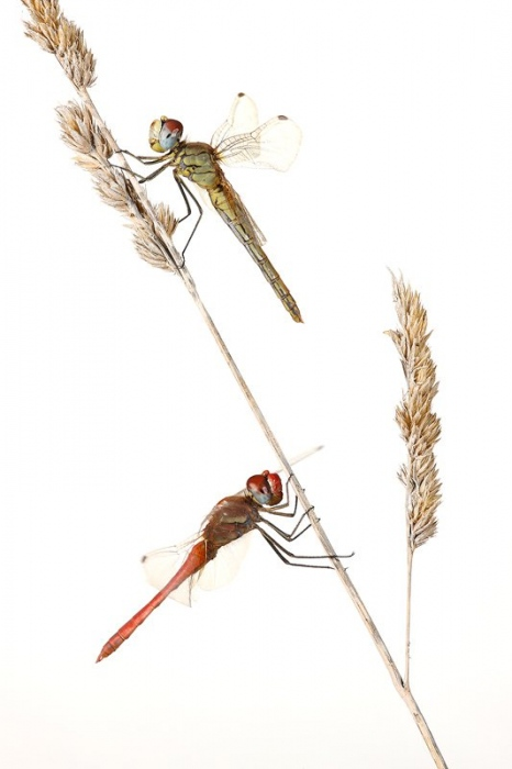 Libelura Roja-Dragonfly -(Sympetrum striolatum) Libelulas al amanecer Delta del Ebro