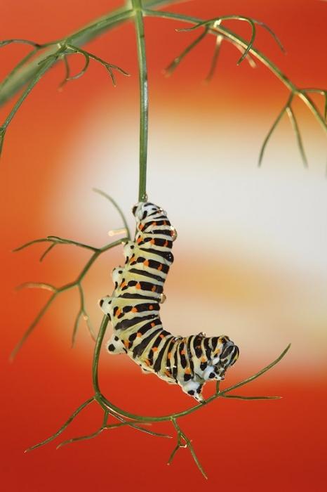 Oruga de Papilio Machaon-Old World Swallowtail -(Papilio Machaon)