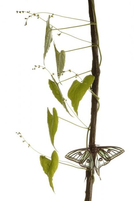 Graellsia Isabelae-Spanish Moon Moth-(Actias isabellae)