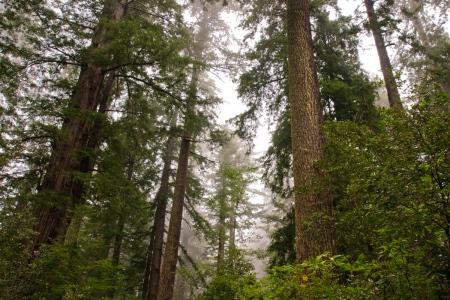 Redwoods. California