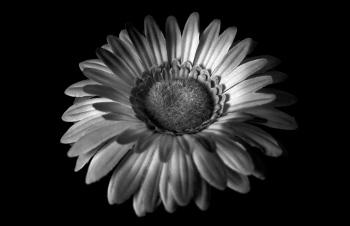 Flor en blanco y negro | 2009 | A Coruña, España