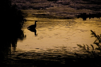 Goose at sunset | 2008 | Somewhere in Galicia, Spain
