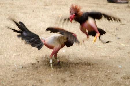fine art photography in fight cocks in cuba by louis alarcon