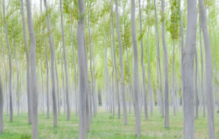 Poplars au printemps. Ribera del Rio Arga (Navarra)