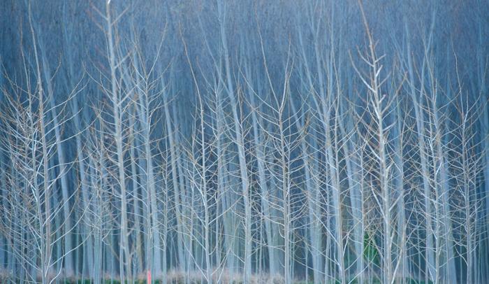 Maze . Leafless tree trunks