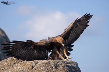 Águila Real (Aquila Chrysaetos)