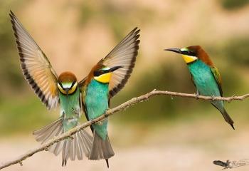 Finalista en el Concurso Internacional de Fotografía de Naturaleza Oasis Photo Contest - 2016 (ITALIA) categoría aves