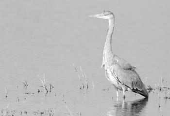 """Seleccionada en la categoria """"Aves"""" para el concurso IFWP- International Federation of Wildlife and Nature Photography - 2015 en representación de AEFONA"""