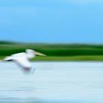 Rumanía, Pelícano, Romania,Aves, Birds