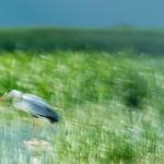 Rumanía, Garza real, Romania, Grey heron