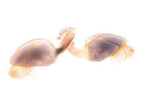 <i>Lepas anatifera.</i>Goose barnacle.