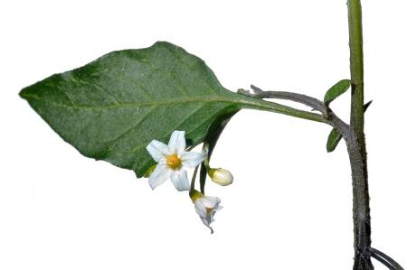<i>Solanum nigrum.</i>