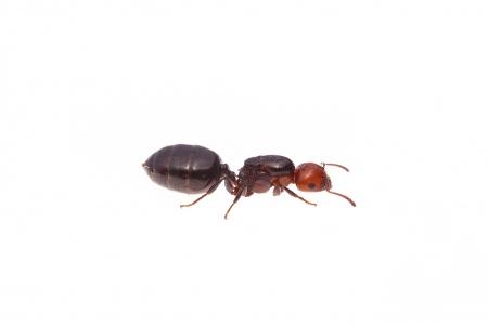 <i>Crematogaster scutellaris</i> (queen).