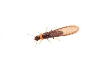 <i>Reticulitermes lucifugus</i> (king).