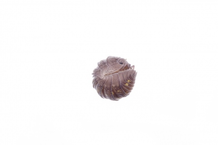 <i>Armadillum granulatum. </i>Bicho bola.