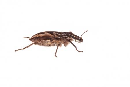 <i>Coniocleonus nigrosuturatus.</i>
