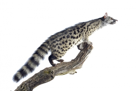 <i>Genetta genetta. </i>Small-spotted Genet.