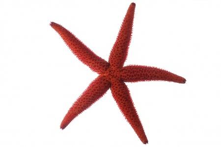 <i>Echinaster sepositus.</i>Mediterranean red sea star.