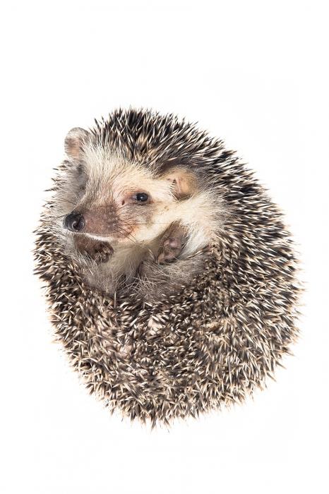 <i>Atelerix algirus. </i>Algerian hedgehog