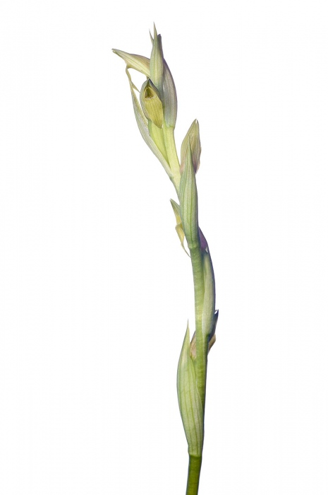 <i>Serapias parviflora. </i>(hipocromática)