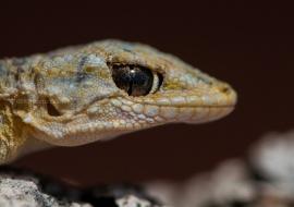 The cunning gaze. Tarentola mauritanica