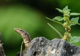 Madeira lizard (Teira dugesii)