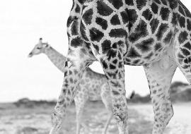 Jirafas (Giraffa camelopardalis)