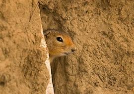 Arctic ground squirrel (Spermophilus parryi)