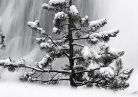 Coniferus tree and waterfall